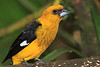 Black-thighed_Grosbeak_Los_Quetzales0017