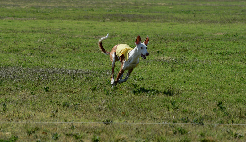 Ibizan Hound  Mixed 2 PM Boo-6119
