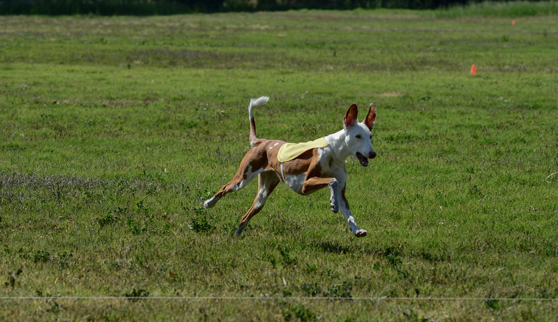 Ibizan Hound  Mixed 2 PM Boo-6121