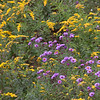 New England Asters, Aster novae-angliae and Goldenrod, native Maine wildflowers photographed in mid September on the side of the road