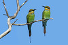 BEE-EATER RAINBOW PAIR_05