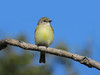 FLYCATCHER LEMON-BELLIED_05