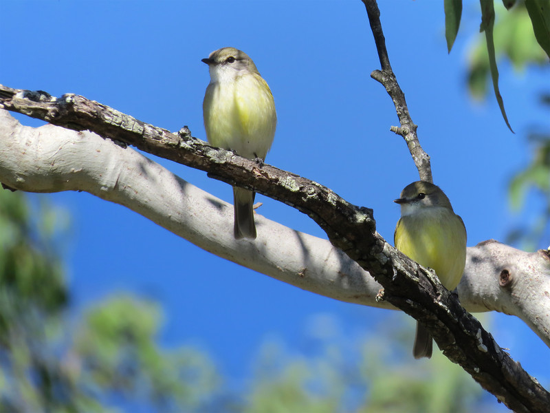 FLYCATCHER LEMON-BELLIED_03