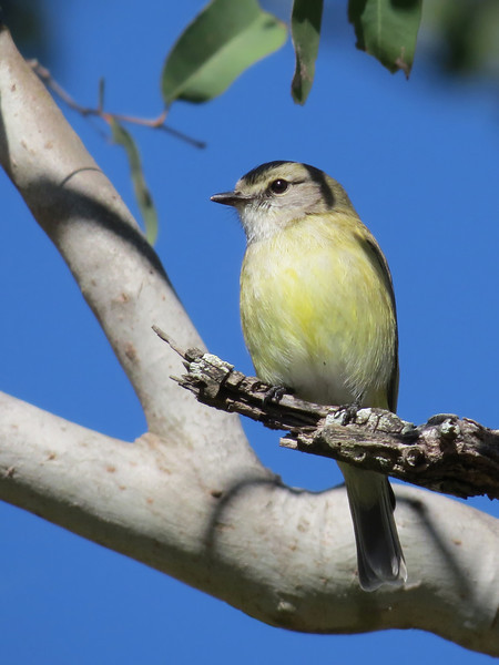 FLYCATCHER LEMON-BELLIED_07