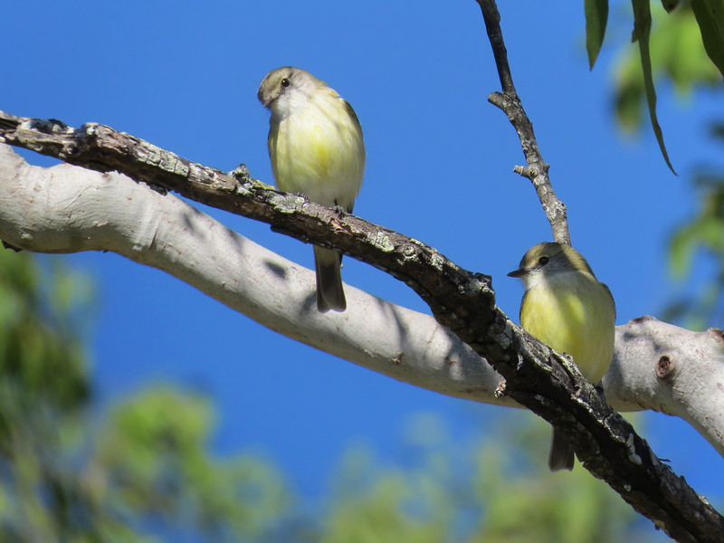 FLYCATCHER LEMON-BELLIED_04