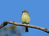 FLYCATCHER LEMON-BELLIED_06