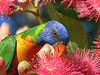 LORIKEET RAINBOW_59