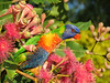 LORIKEET RAINBOW_57