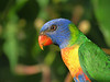 LORIKEET RAINBOW_60