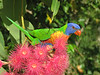 LORIKEET RAINBOW_56