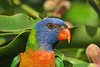 LORIKEET RAINBOW_61