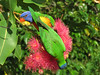 LORIKEET RAINBOW_53