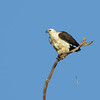SEA-EAGLE WHITE-BELLIED_04