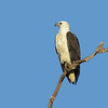 SEA-EAGLE WHITE-BELLIED_09