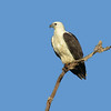 SEA-EAGLE WHITE-BELLIED_05
