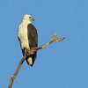 SEA-EAGLE WHITE-BELLIED_08