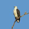 SEA-EAGLE WHITE-BELLIED_06