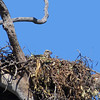 SEA-EAGLE W-B NEST T_03