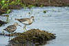 SANDPIPER SHARP-TAILED_86