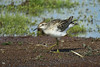 SANDPIPER SHARP-TAILED_90