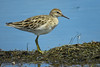 SANDPIPER SHARP-TAILED_95