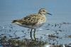 SANDPIPER SHARP-TAILED_96