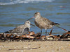 GODWIT BAR-TAILED_81