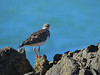 TURNSTONE RUDDY_07