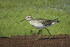 SANDPIPER SHARP-TAILED_88