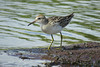 SANDPIPER SHARP-TAILED_93