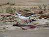 PLOVER RED-CAPPED Im_04