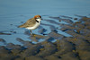 PLOVER RED-CAPPED_133