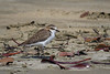 PLOVER RED-CAPPED Im_07