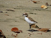 PLOVER RED-CAPPED bb - chick2_25