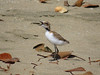 PLOVER RED-CAPPED bb - chick2_21
