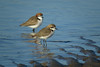 PLOVER RED-CAPPED_137