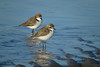 PLOVER RED-CAPPED_138