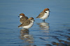 PLOVER RED-CAPPED_136