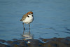 PLOVER RED-CAPPED_132
