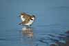 PLOVER RED-CAPPED_134