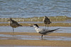 TERN COMMON_04