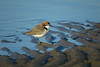 PLOVER RED-CAPPED_131