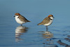 PLOVER RED-CAPPED_135