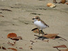 PLOVER RED-CAPPED bb - chick2_23