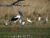 STORK BLACK-NECKED M_13
