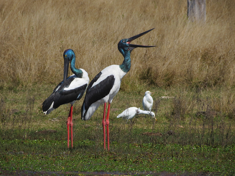 STORK BLACK-NECKED Pair 1_04