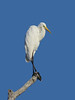 EGRET GREAT_72