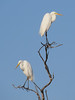 EGRET GREAT_68