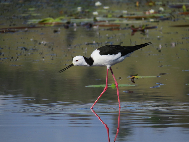 STILT BLACK-WINGED_44
