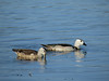 PYGMY-GOOSE COTTON_15
